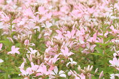 Flower garden of cleome Royalty Free Stock Photos
