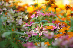 Flower garden. Colorful flower in the garden Royalty Free Stock Photo