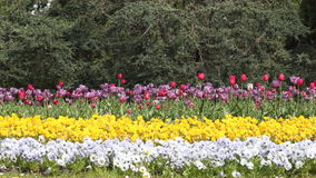 Flower garden. With colorful flowers and tulip stock video