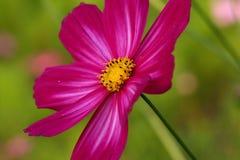 Flower, Garden Cosmos, Flora, Close Up Stock Image