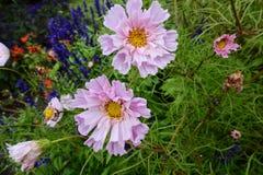 Flower, Garden Cosmos, Plant, Flora