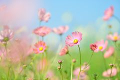 Flower, Garden Cosmos, Wildflower, Flowering Plant royalty free stock photography