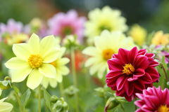Flower garden of dahlia Royalty Free Stock Image