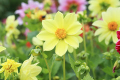 Flower garden of dahlia Royalty Free Stock Photo