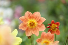 Flower garden of dahlia Royalty Free Stock Photos