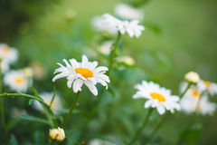 Flower Garden Daisies  3. Images of flower garden Daisies Stock Images