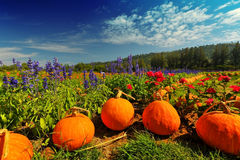 Flower in garden decorate by pumpkin with moutain background Stock Photos