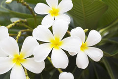 Flower in garden frangipani Royalty Free Stock Photo