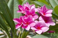 Flower in garden frangipani Stock Images
