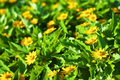 Flower garden of gold medallion flowers Royalty Free Stock Image