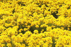 Flower garden  of Helianthus Royalty Free Stock Images
