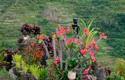 Flower garden on the hill in Ifugao, Philippines.  Royalty Free Stock Image