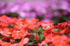 Flower garden of Impatiens Stock Photos