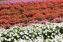 Flower garden of Impatiens Stock Photo