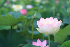 Flower garden of Lotus Stock Photos