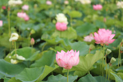 Flower garden of Lotus Royalty Free Stock Photos