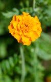 Flower in the garden. Orange flower growing in the garden Stock Photo
