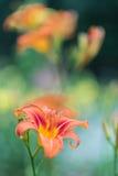 Flower in a garden. Orange flower growing in a green garden Stock Image