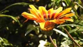 Flower garden at park in Chile. Flower  garden at a park in santiago, Chile stock footage