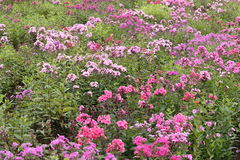 Flower garden of Phlox Stock Photo
