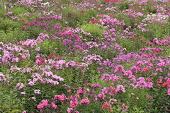 Flower garden of Phlox Royalty Free Stock Photo