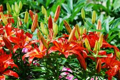 Flower garden plant - Red lily photo Stock Images