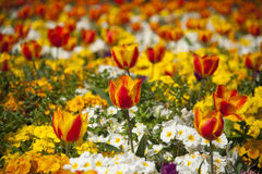 Flower garden with red and yellow tulips Stock Images