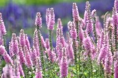 Flower garden of speedwell Stock Photos