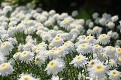 Flower garden of stokesia Stock Photos