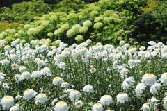Flower garden of stokesia Royalty Free Stock Photo