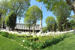 Flower Garden at Sultan Ahmet Mosque, Istanbul. White Tulips at the park around historic Sultan Ahmet Mosque or Blue Mosque in Istanbul, Turkey Stock Photo