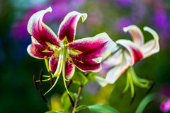 A flower garden in the summer. Royalty Free Stock Images