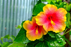 Flower garden in thailand. Brightly colored flowers in the morning Royalty Free Stock Photo