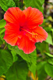 Flower garden in thailand. Chaba or hibiscus, Flower of Thailand Stock Images