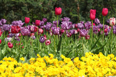Flower garden with tulip Stock Photo