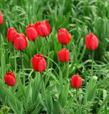 Flower garden with tulip Royalty Free Stock Photos