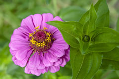 Flower in the garden - Zinnia Stock Photography
