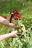 Flower gardening and maintenance concept. Close up shot of women. Hands with pruning shears working in garden. Gardener trimming off spray of spent or dead rose Royalty Free Stock Photo