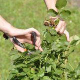 Flower gardening and maintenance concept. Close up shot of women. Hands with pruning shears working in garden. Gardener trimming off spray of spent or dead rose Stock Photography
