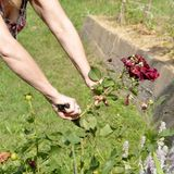 Flower gardening and maintenance concept. Close up shot of women. Hands with pruning shears working in garden. Gardener trimming off spray of spent or dead rose Royalty Free Stock Photos