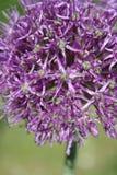 Flower garlic Stock Image