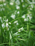 Flower - Garlic Royalty Free Stock Photo