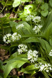 Flower of garlic. White flowers and leaf of garlic Stock Photos