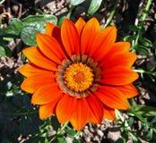 Flower of gazania Royalty Free Stock Photo