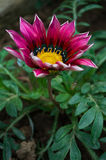 Flower Gazania delightful daisies Stock Photography