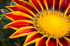Flower Gazania Royalty Free Stock Photos