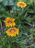 Flower Gazania rigens close up after a rain. Royalty Free Stock Photography