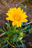 Flower gazania: yellow Flower gazania. royalty free stock photography