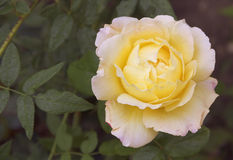 Flower gently yellow roses.The view from the top Royalty Free Stock Photography