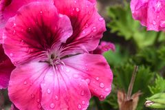 The flower Geranium royalty free stock image